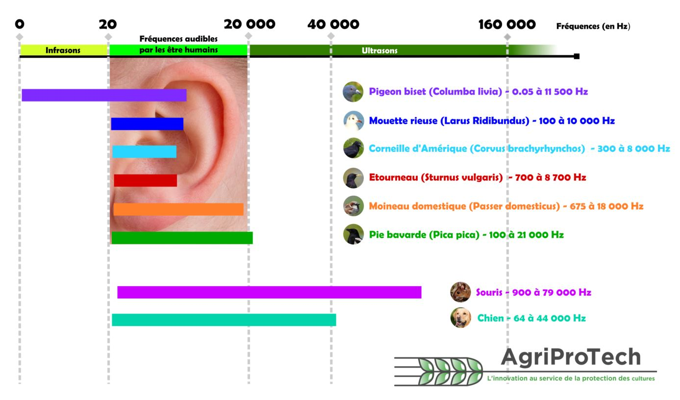 oreille oiseaux sons ultrasons