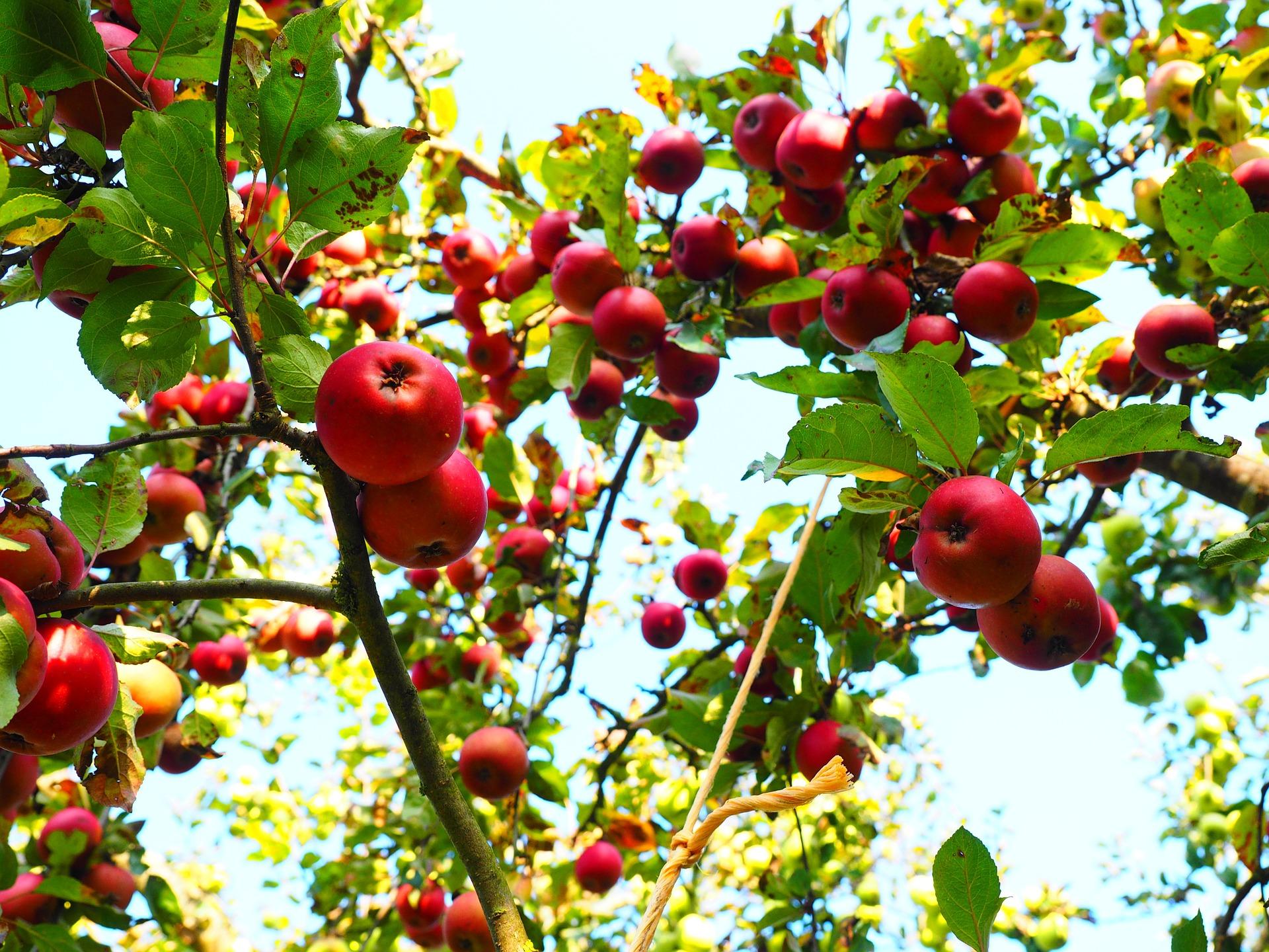 Harvest protection apple tree birds