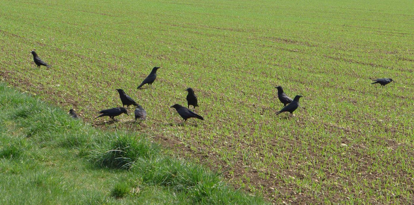 Eloigner les corbeaux des cultures