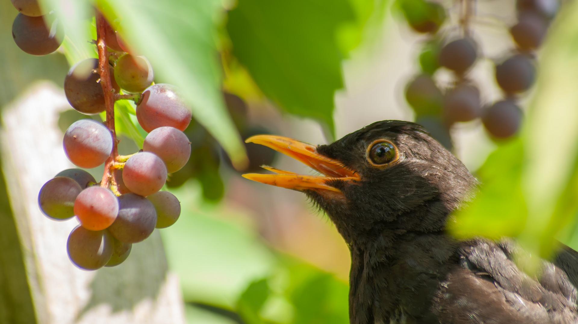 Etourneau vignes protection degats