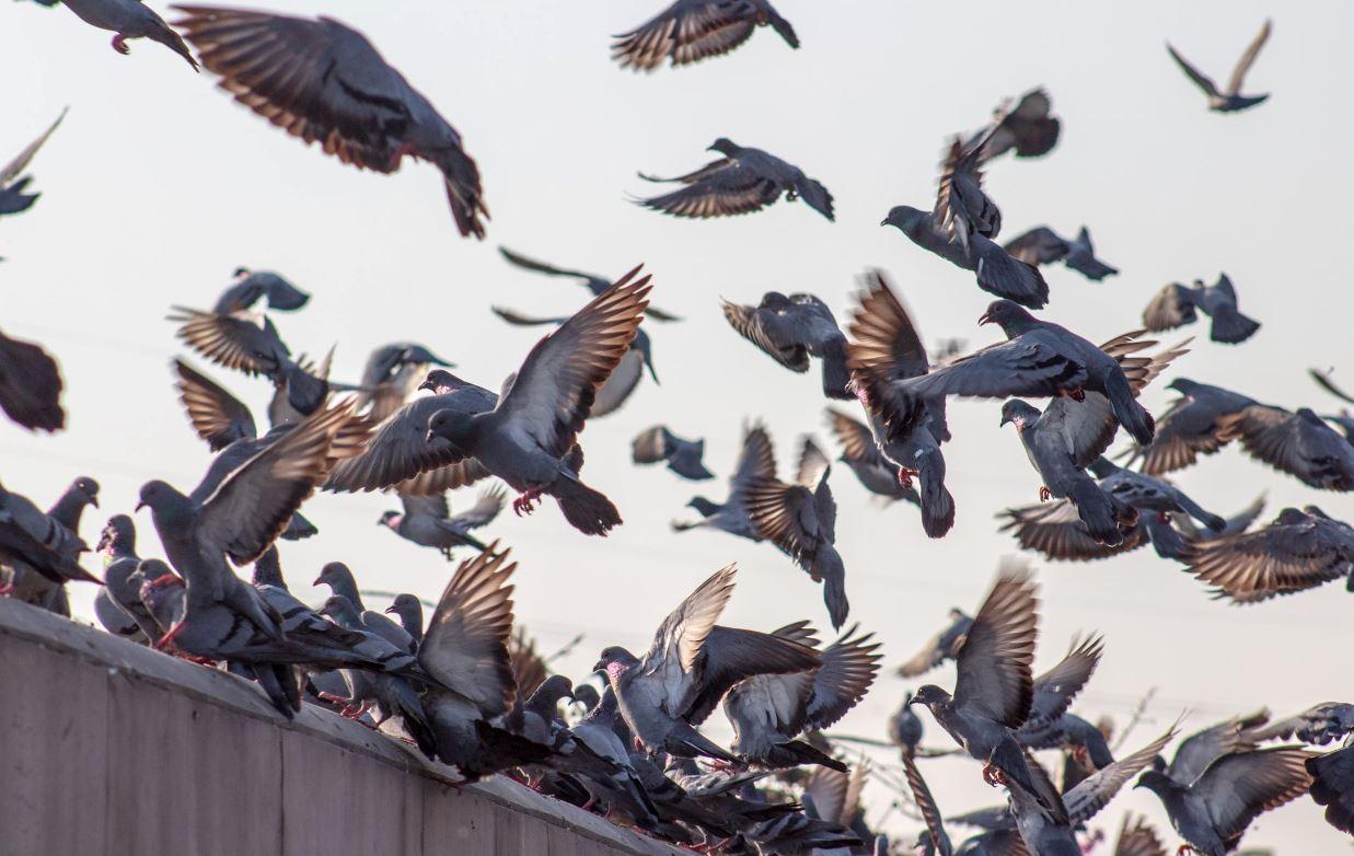 pigeons villes protection
