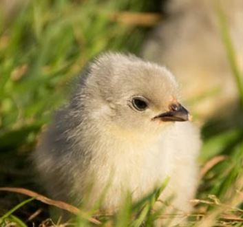 protection élevage canards poussins attaques